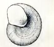 Image of <i>Skenea diaphana</i> (A. E. Verrill 1884)