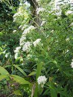 Image of <i>Eupatorium japonicum</i>