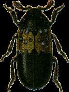Image of larder beetle