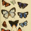 Image of <i>Paragerydus horsfieldi</i> (Moore 1857)