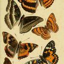 Image of <i>Abrota ganga</i> Moore 1857