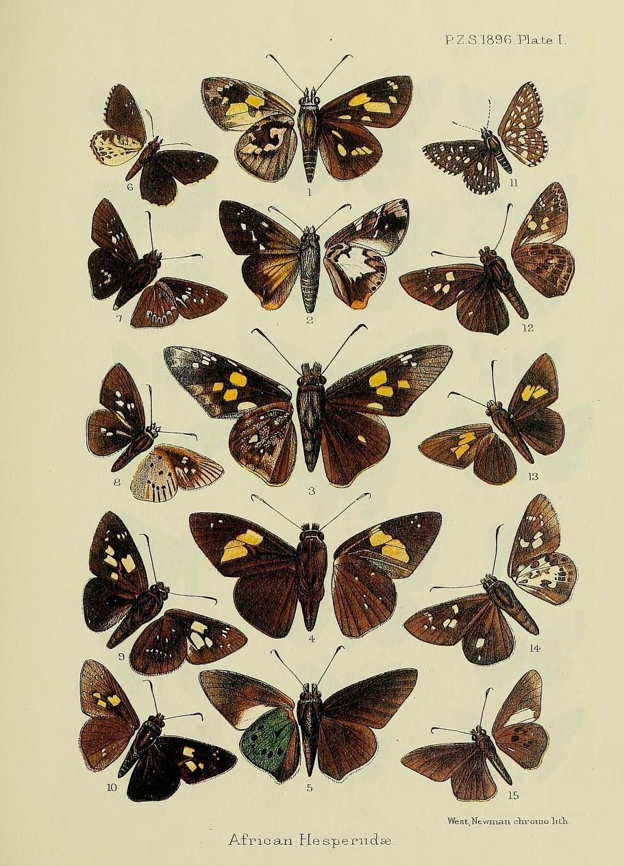 Image of <i>Spialia colotes</i> Druce 1875