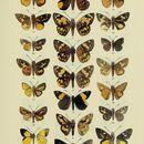 Image of <i>Rhabdomantis galatia</i> Hewitson 1868