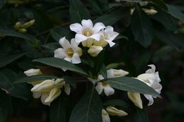 Image of <i>Rothmannia globosa</i> (Hochst.) Keay