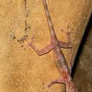 Image of Calodactylodes