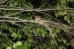 Image of fat-tailed dwarf lemur