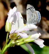Image of Spring Azure