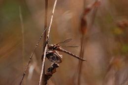 Image of Springtime Darner