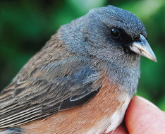 Image of <i>Junco hyemalis insularis</i>