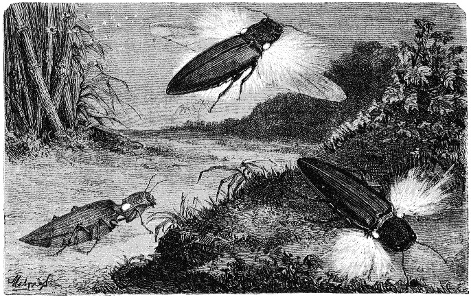 Image of fire beetles