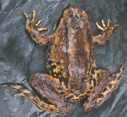 Image of <i>Nanorana conaensis</i> (Fei & Huang 1981)