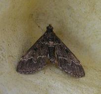 Image of <i>Duponchelia fovealis</i> Zeller 1847