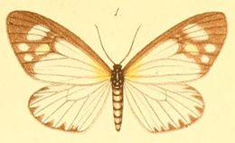 Image of <i>Cartaletis gracilis</i> Möschler 1890