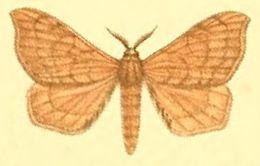 Image of <i>Racinoa metallescens</i>