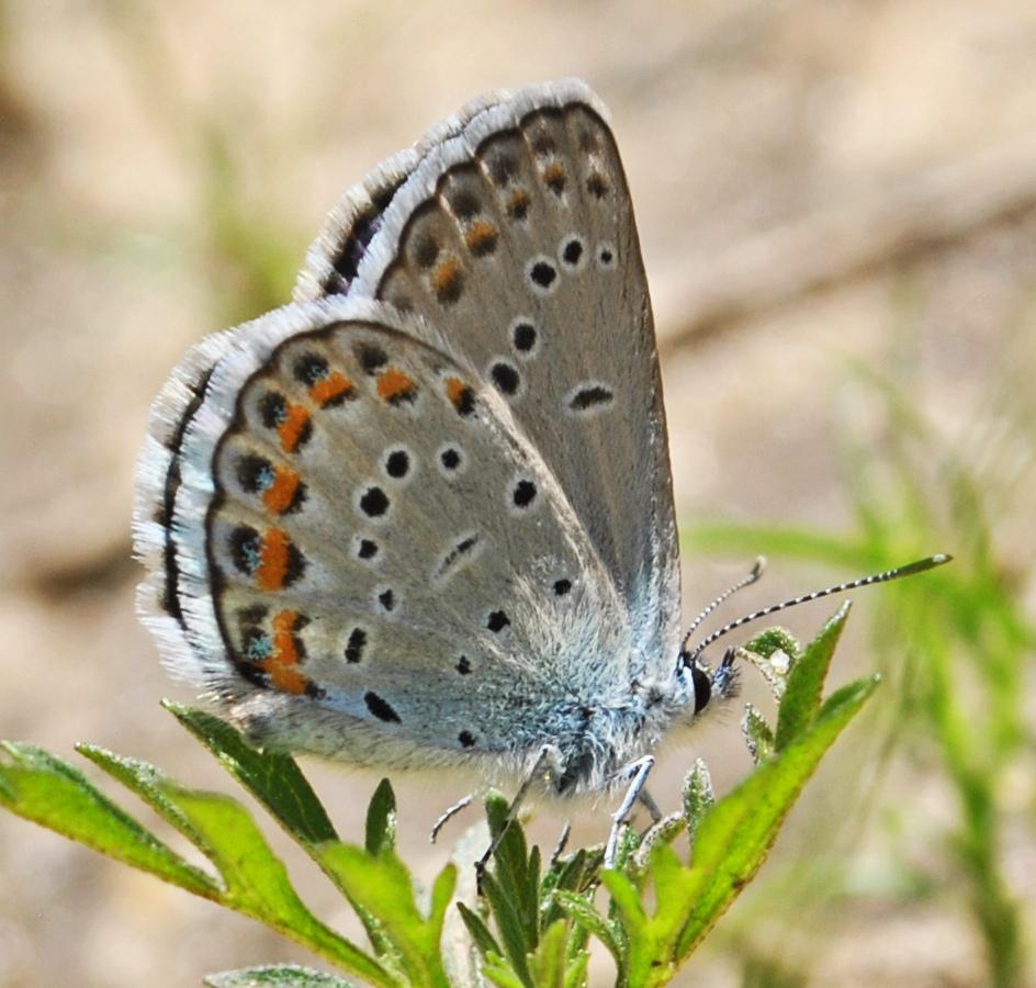 Image of Karner Blue