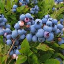 Image of lowbush blueberry