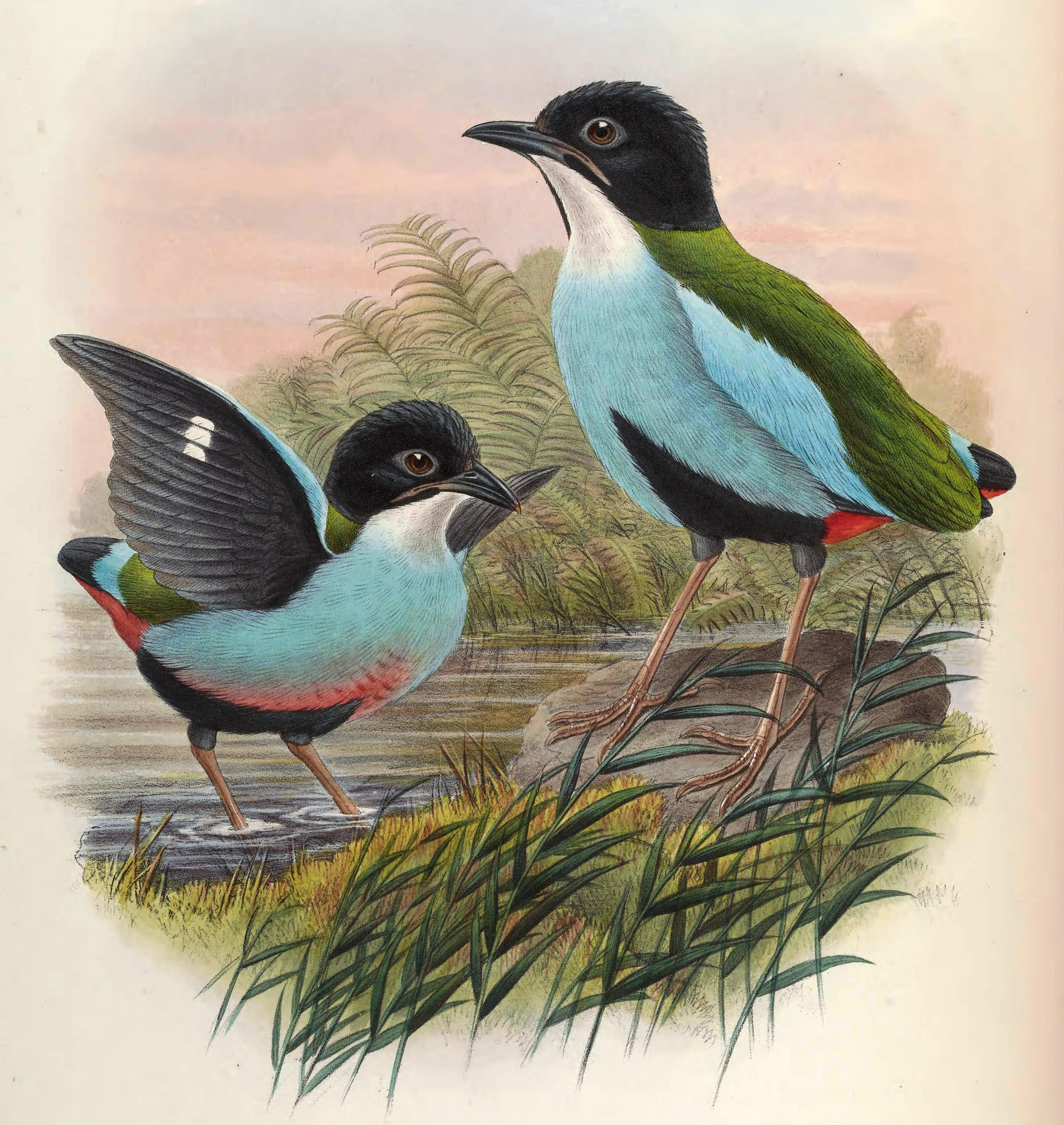 Image of Azure-breasted Pitta