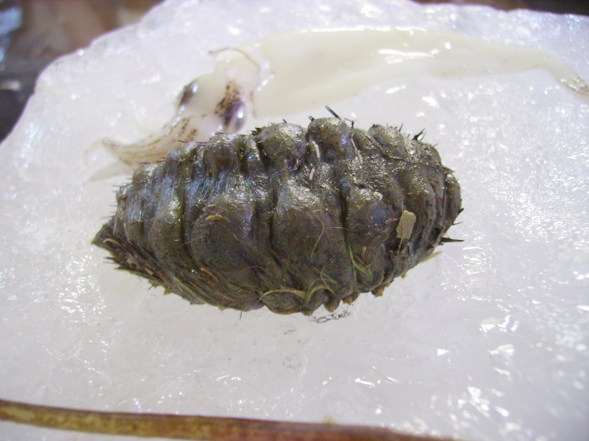 Image of Sea mouse