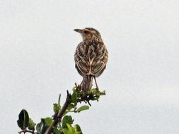 Image of Singing Bush Lark