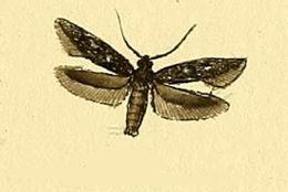 Image of <i>Scythris inspersella</i> Hübner (1817)