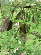 Image of false tamarind