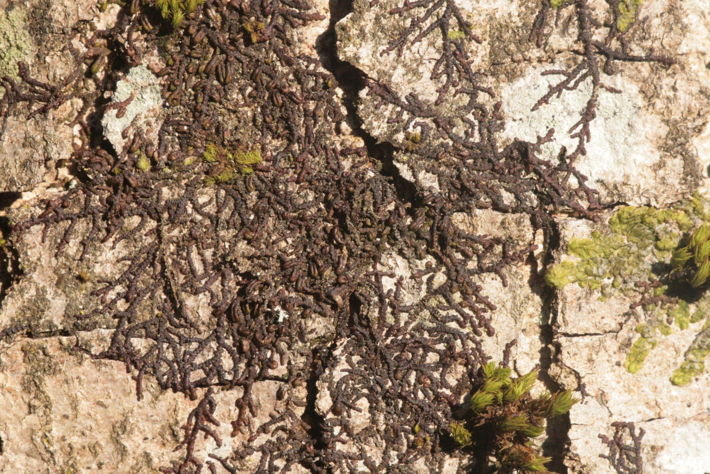 Image of dilated scalewort