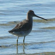Image of Long-billed Dowitcher