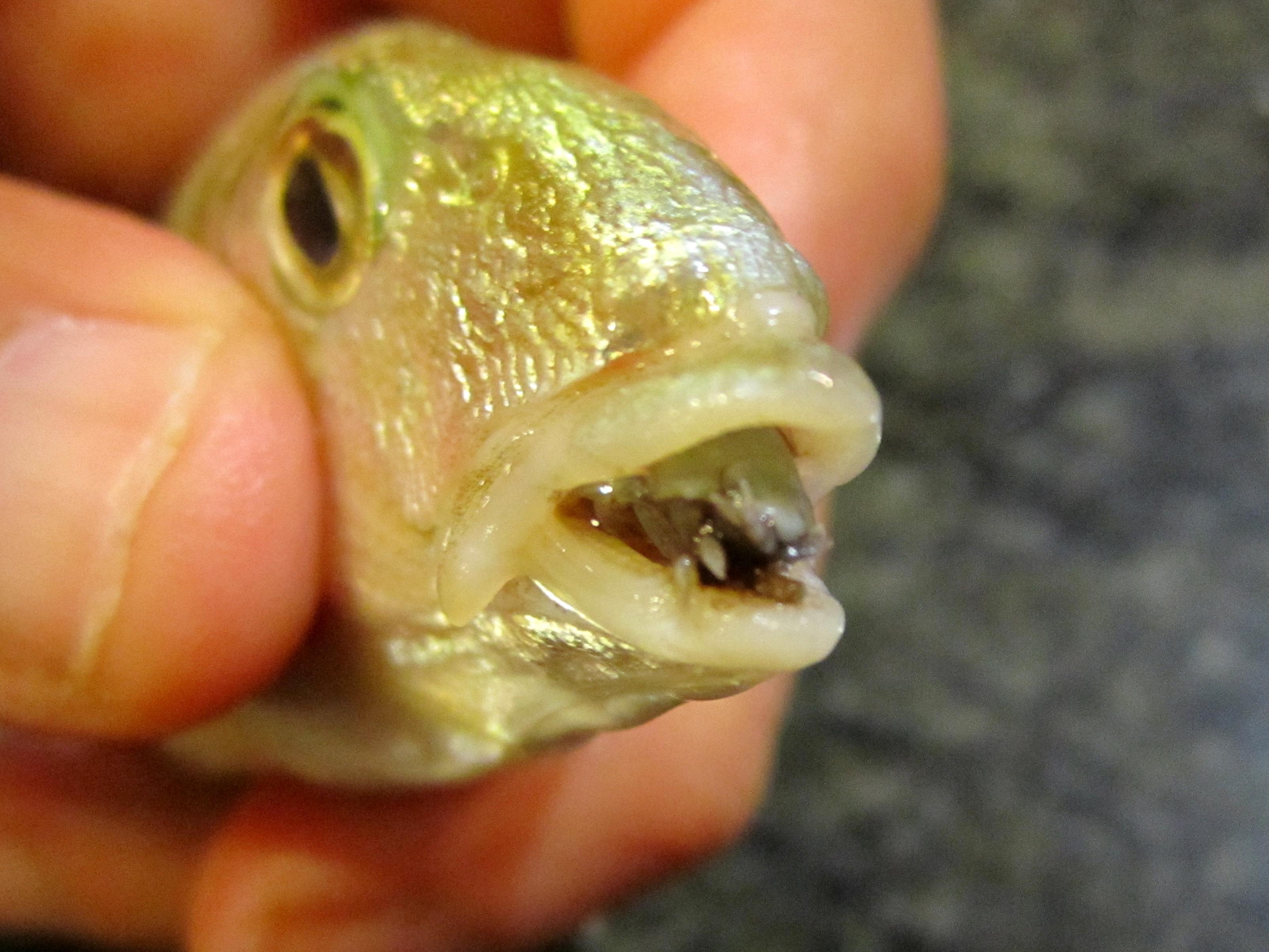 Image of Tongue-Eating Isopod