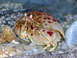 Image of giant box crab