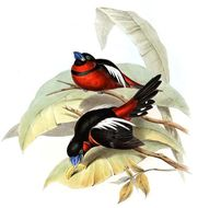 Image of Black-and-red Broadbill