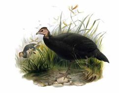 Image of Black Guineafowl
