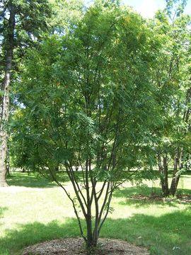 Image of <i>Sorbus hupehensis</i>