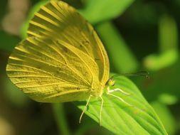 Image of <i>Eurema andersonii</i>