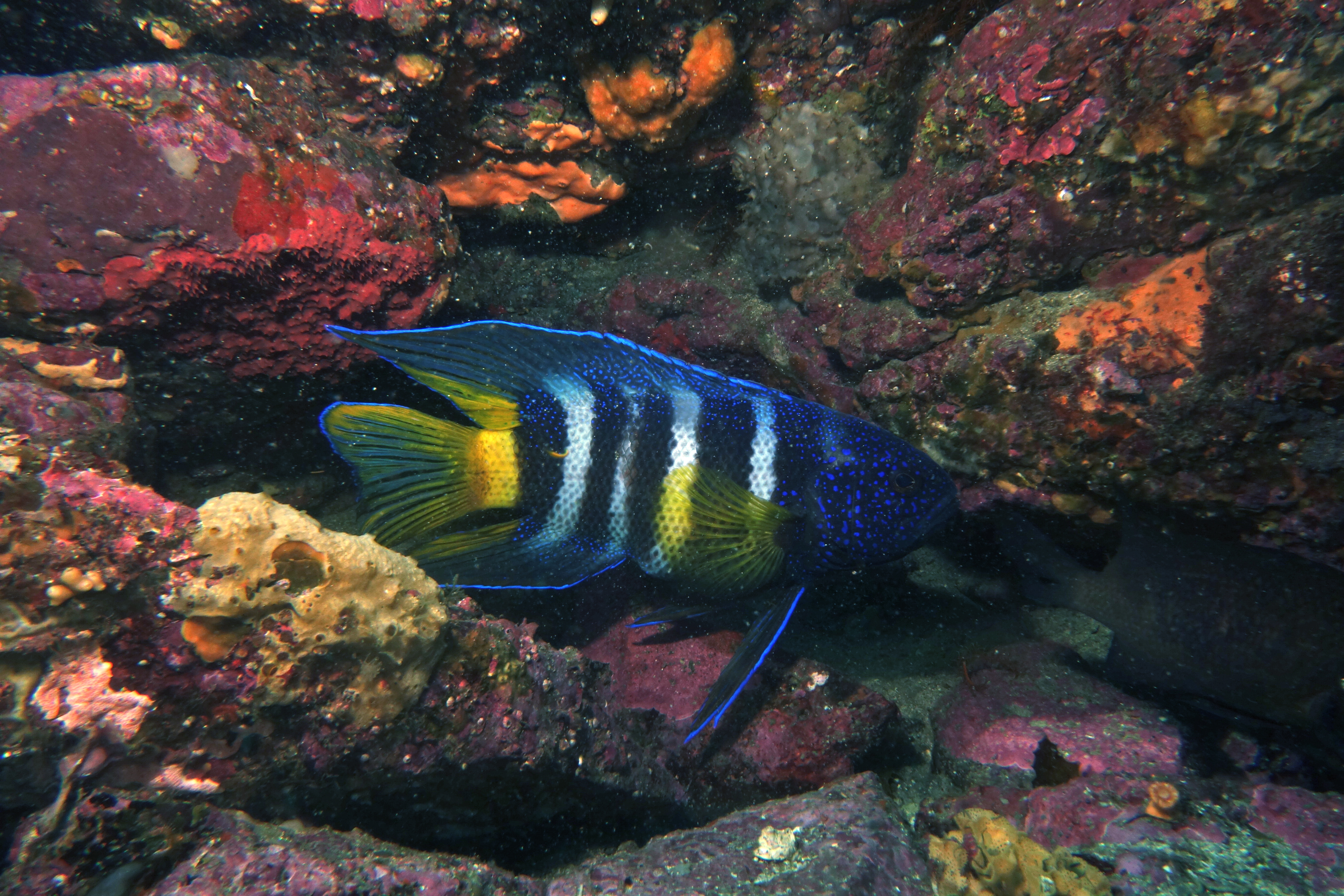 Image of Bleeker's devilfish