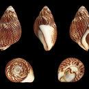 Image of <i>Nassarius pfeifferi</i> (Philippi 1844)