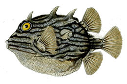 Image of Shaw's cowfish