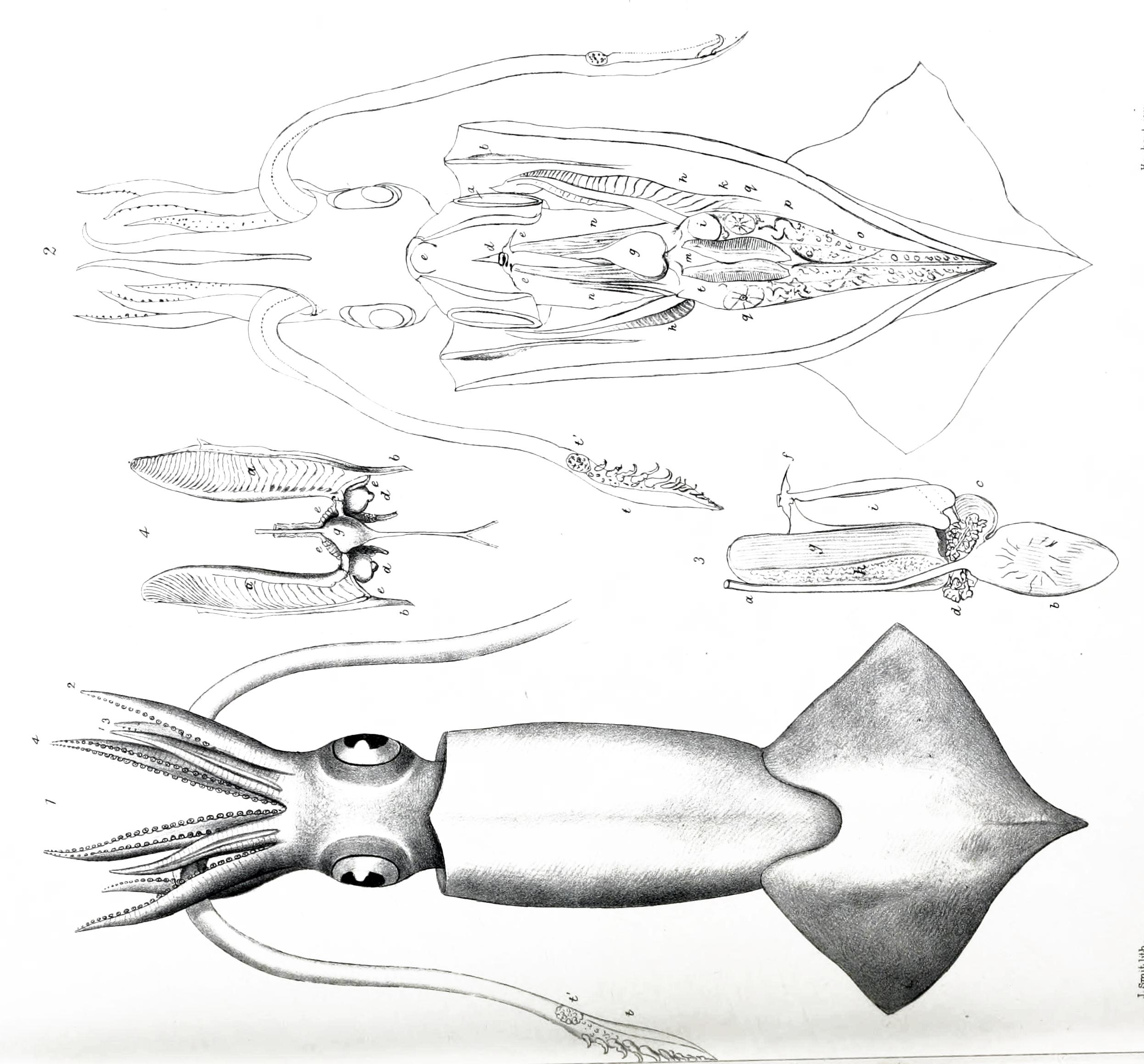 Image of Onychoteuthis