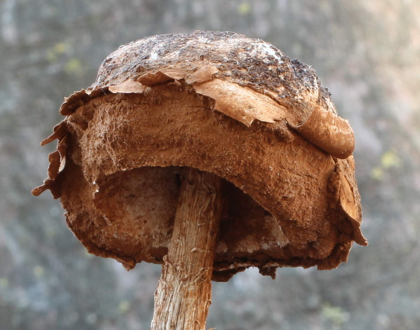 Image of scaley-stalked puffball