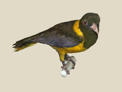 Image of Green-headed Oriole