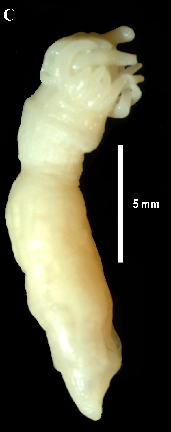 Image of Andrill Anemone