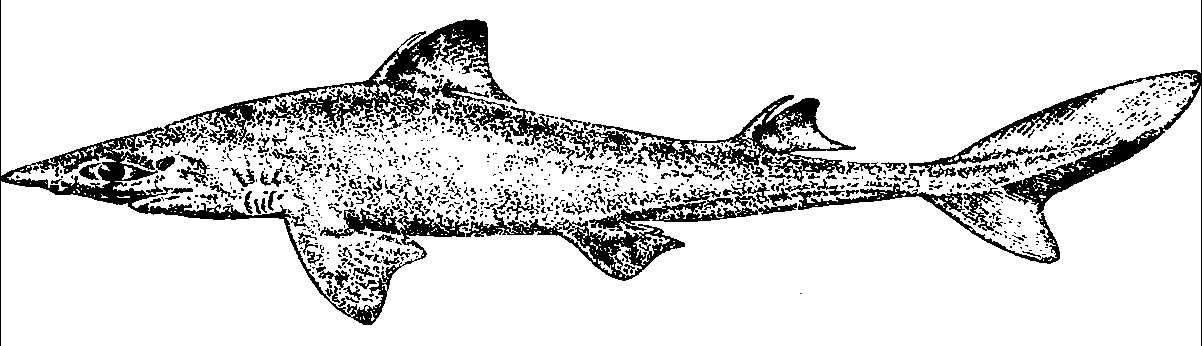 Image of Squalus