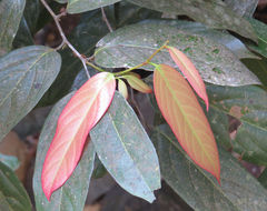 Image of <i>Hydnocarpus alpinus</i>