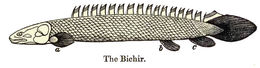 Image of bichir