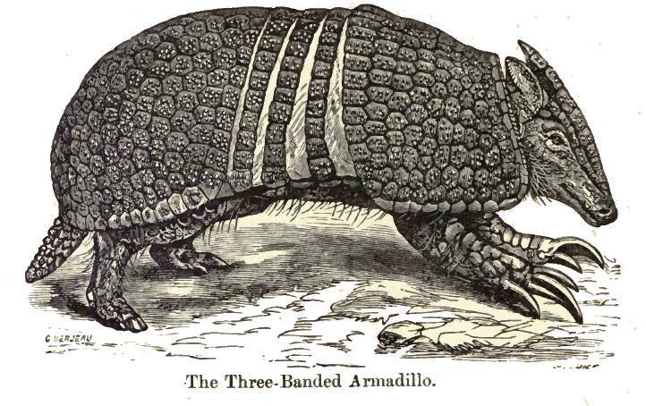 Image of La Plata three-banded armadillo