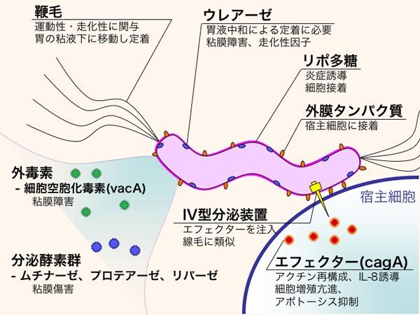 Image of <i>Helicobacter pylori</i>