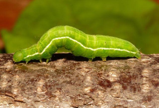 Image of gold spot moth