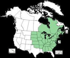 Image of American false pennyroyal
