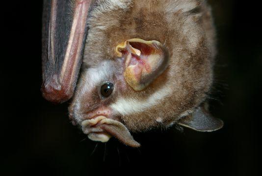 Image of Vampyressa