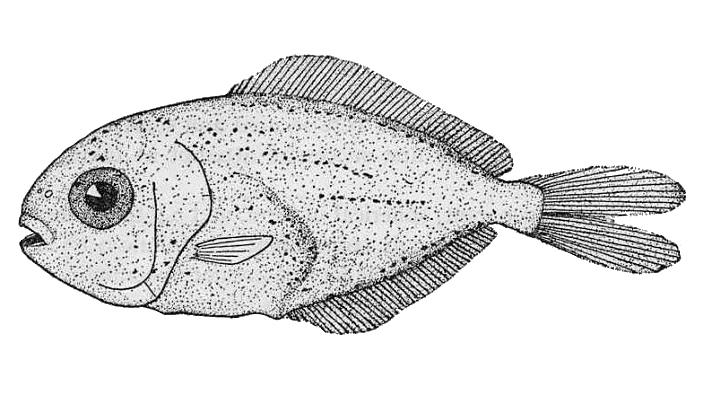Image of <i>Peprilus triacanthus</i> (Peck 1804)