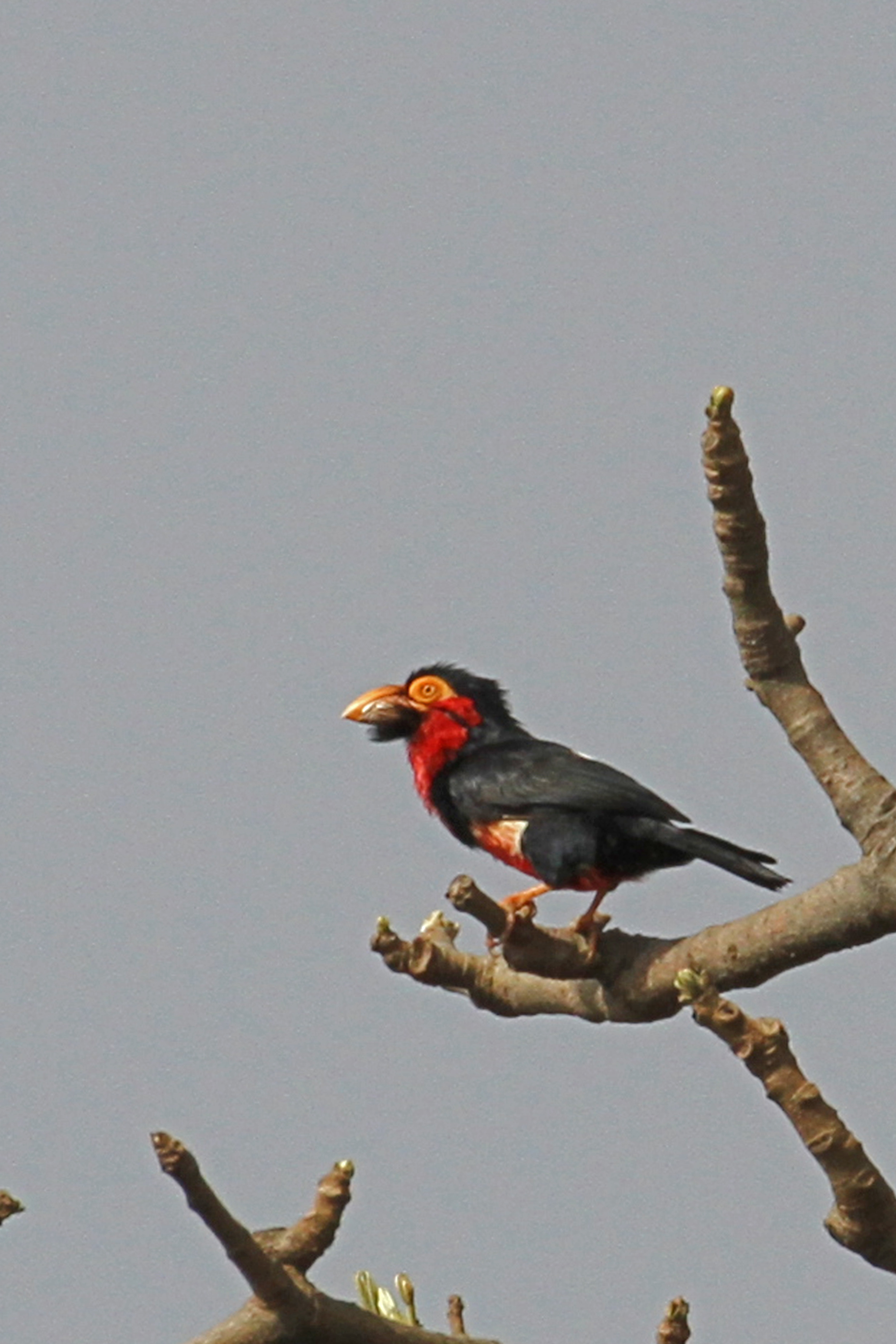 Image of Bearded Barbet